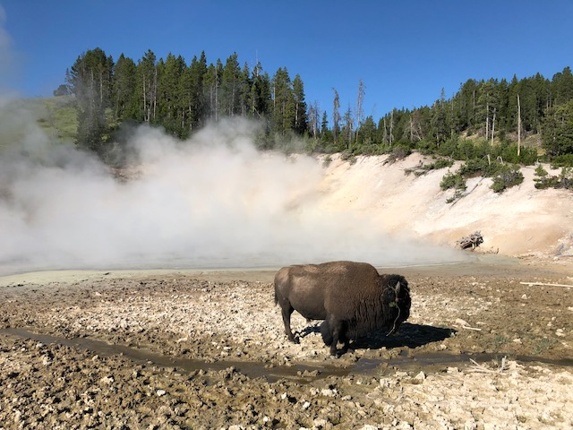 buffalo in steam
